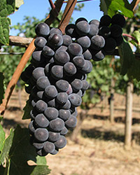 Pinot Noir grapes at Chehalem Ridgecrest Vineyard, Newberg, Oregon