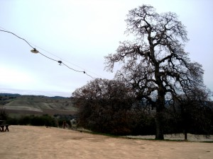 The Twisted Oak - Calaveras County
