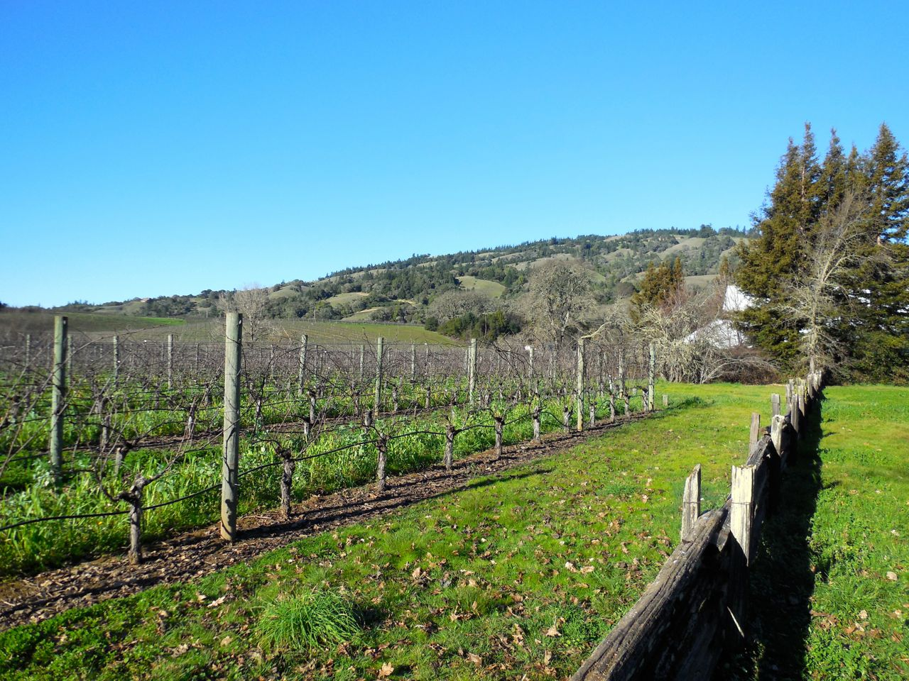 Estate vineyard at the Anderson Valley bubbly house Scharffenberger Cellars.